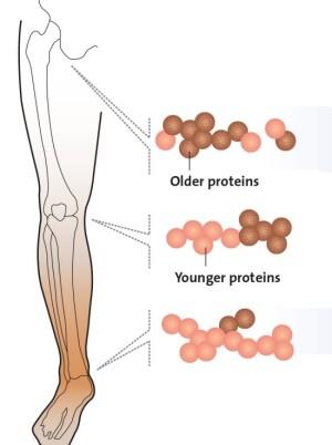 Хрящ суставов бедра, колена и голеностопного сустава отличается скоростью регенерации белков хряща.