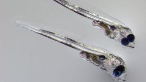 Bild zweier Dorschlarven