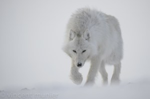 loup blanc vincent munier