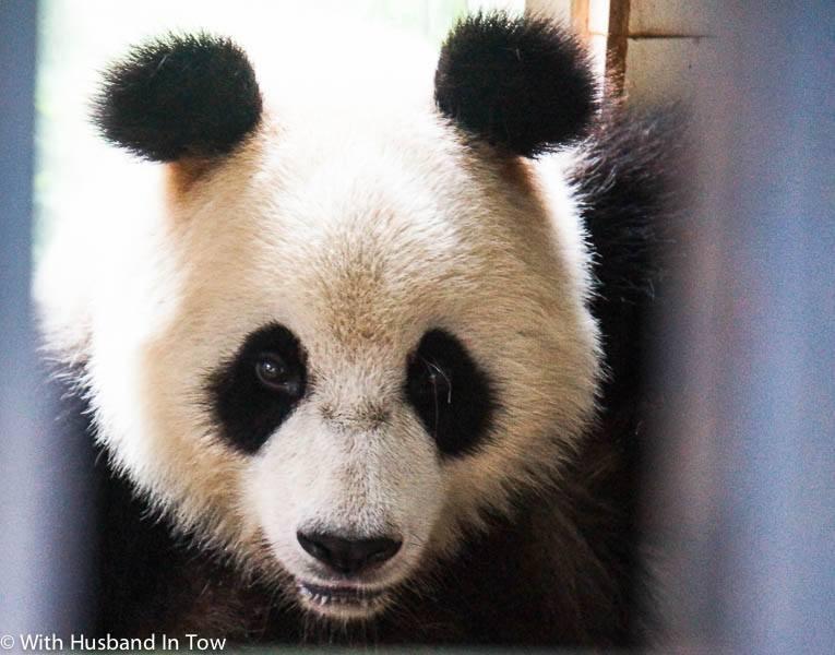The Best Chengdu Panda Tour – Being a Panda Volunteer