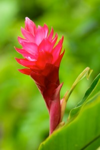 Hawaiian Flower Buying Guide From With Our Aloha Hawaiian red ginger flower bloom