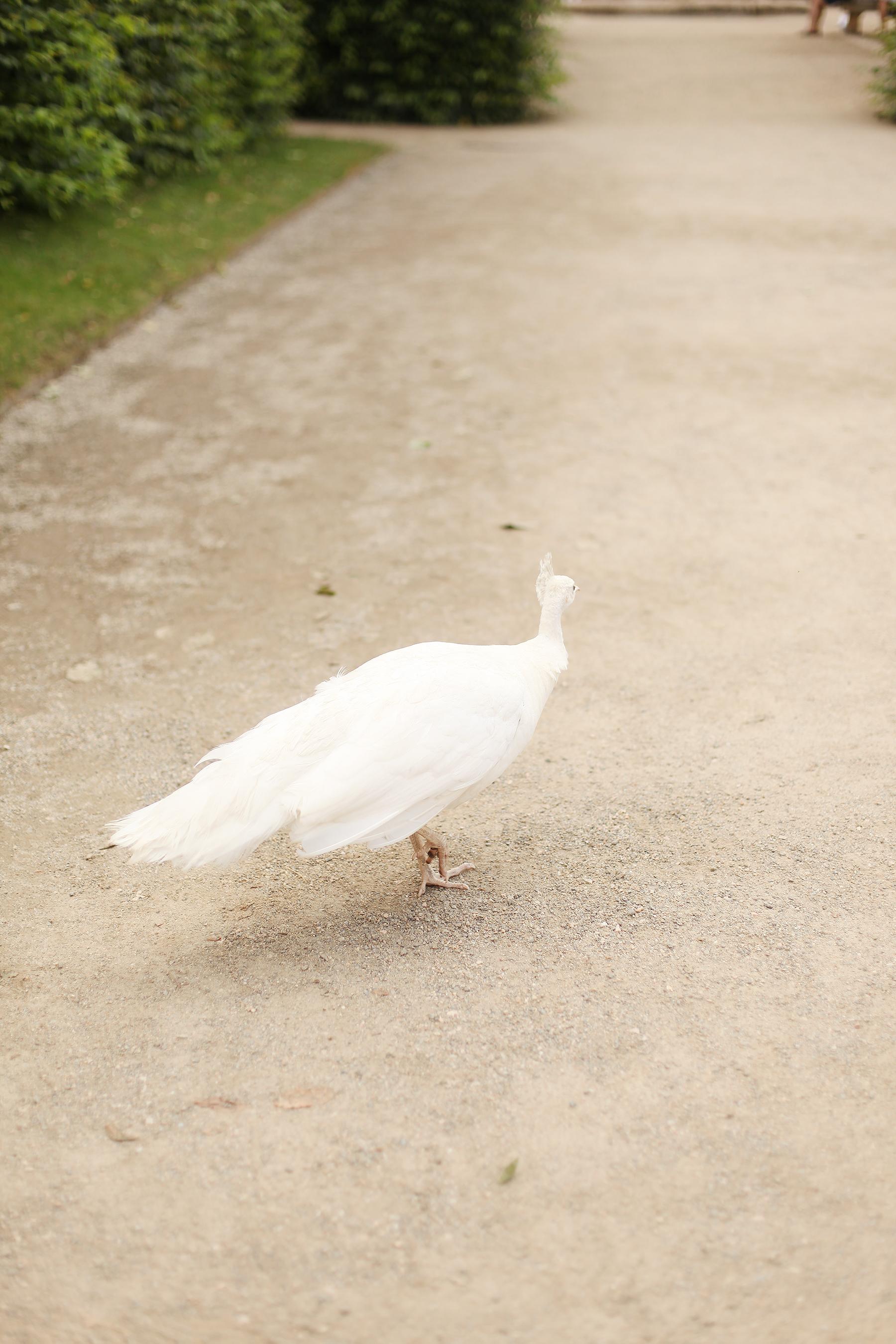 white peakcock