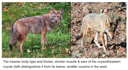 Image result for western coyote