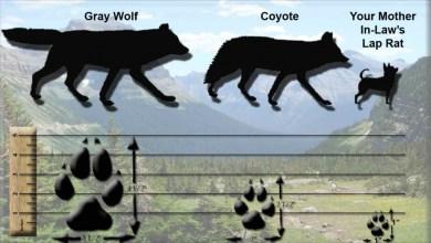 wolf-vs-coyote