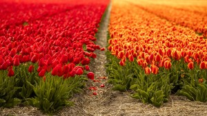 Red and orange tulip fields in the Netherlands