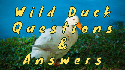 Wild Duck Questions & Answers
