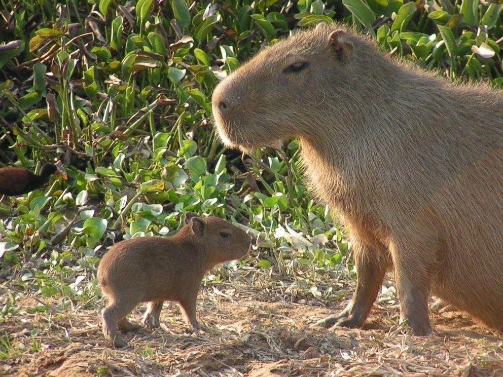 capybaras_173386