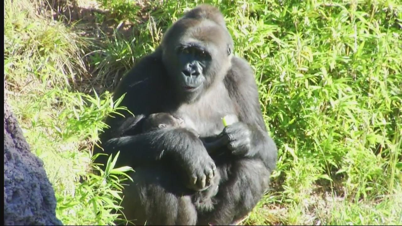 Wild Encounters: Baby Gorilla #2