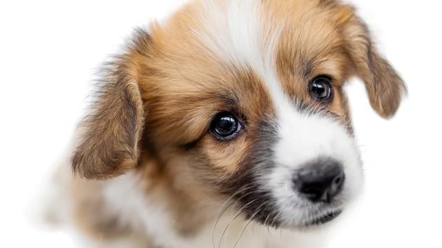 Cute Puppy Welsh Corgi Pembroke  Is Looking At Camera And Beggin_1553285333242