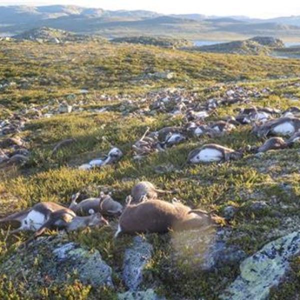 Norway Reindeer Killed_202853