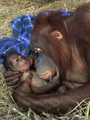 National Zoo Orangutan Birth_210235