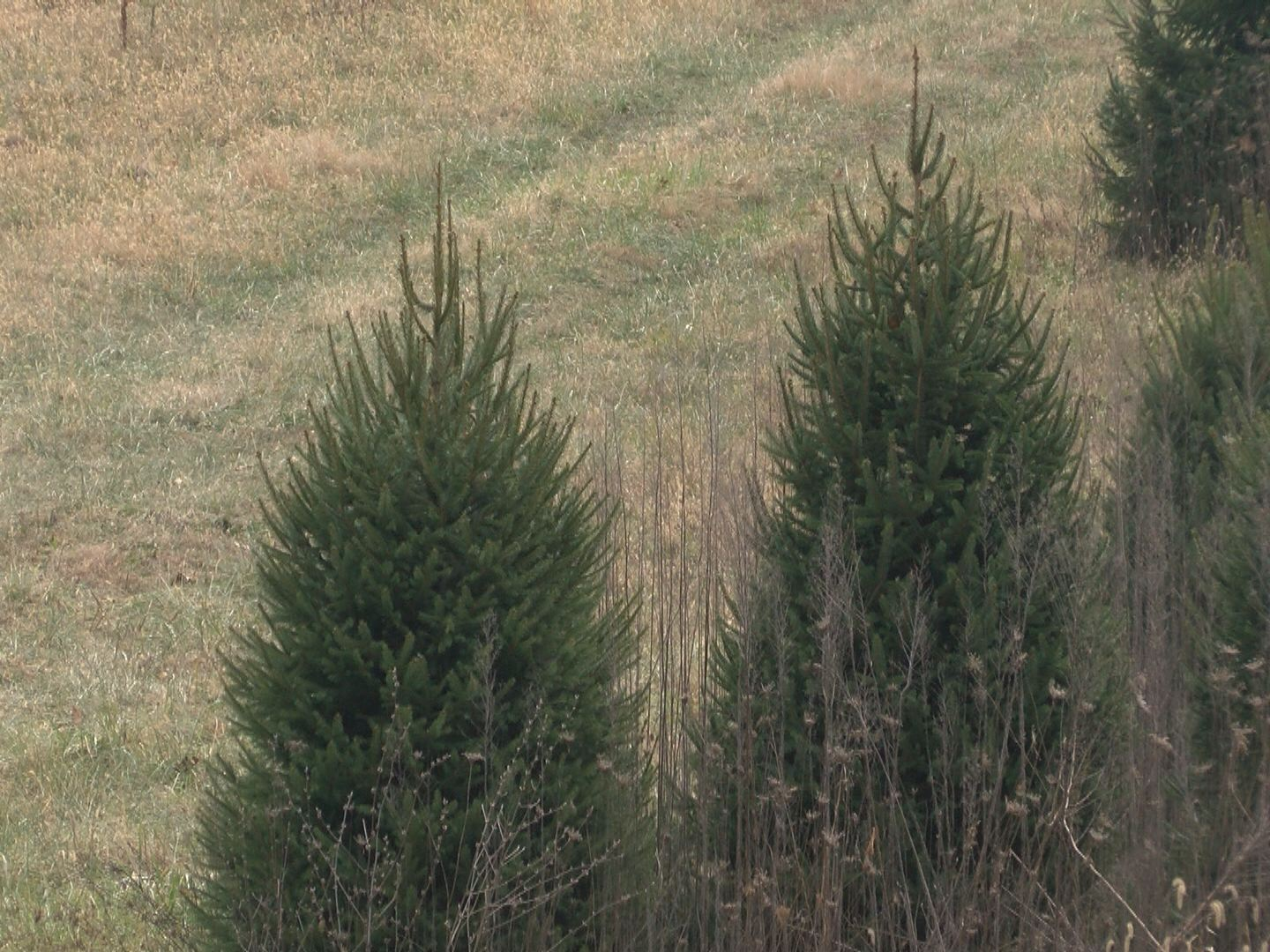Christmas trees growing in Johnson County_237416