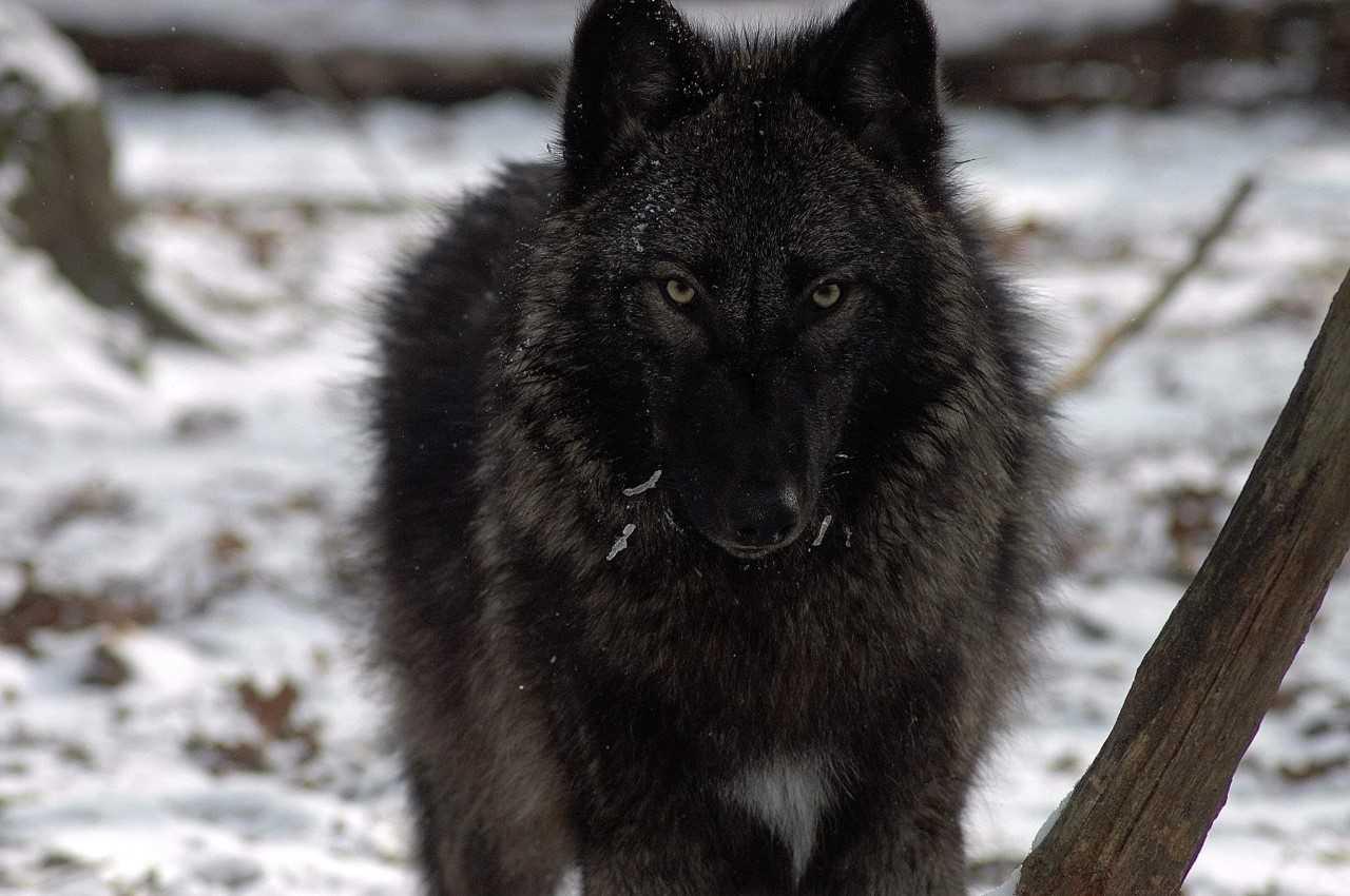 Tanasi Wolf_1545322685455.jpg.jpg