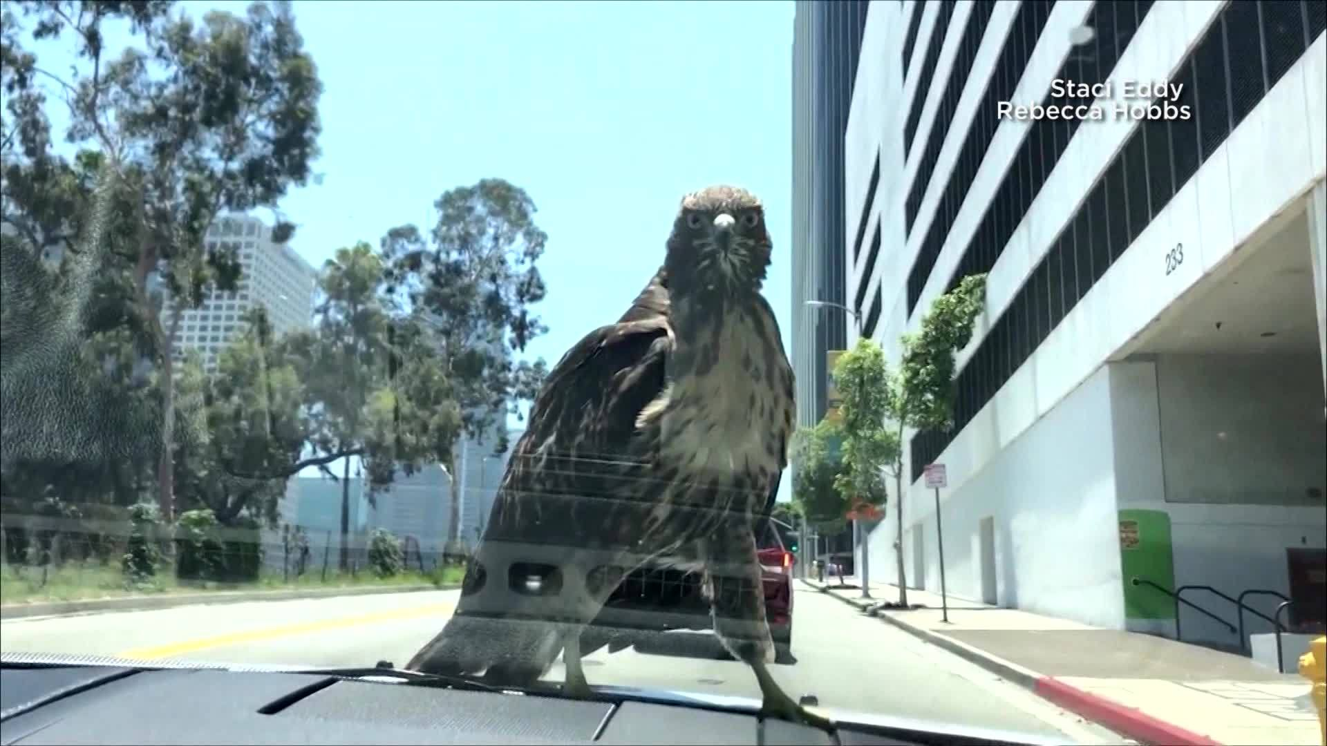 Hawk hitches ride on car in California