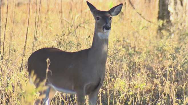 Pa  game commission recommends deer-feeding ban | WKBN com