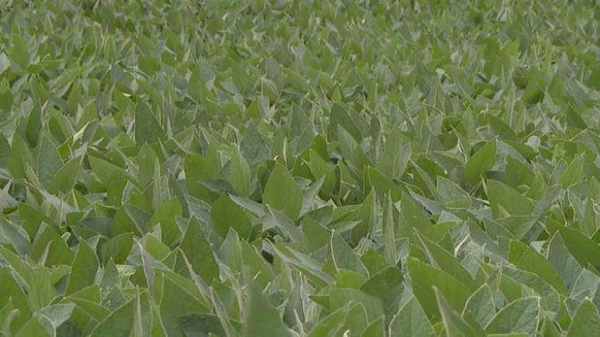 soybean-farmers-