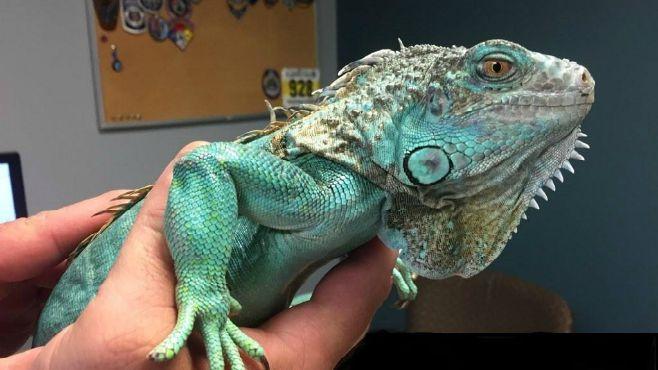 Painesville iguana