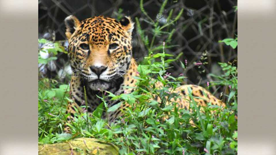 Naom the jaguar