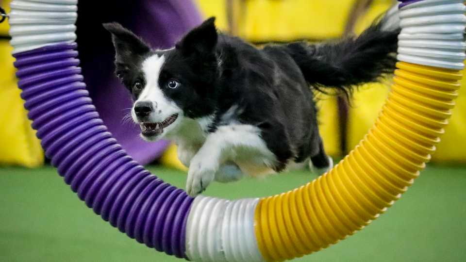 Pink the border collie leaps through a course obstacle en route to winning the Westminster Kennel Club's agility title Saturday Feb. 8, 2020, in New York. Pink's win extends an all-but sweep for border collies in agility's seven years at Westminster, save for an Australian shepherd's 2016 win.