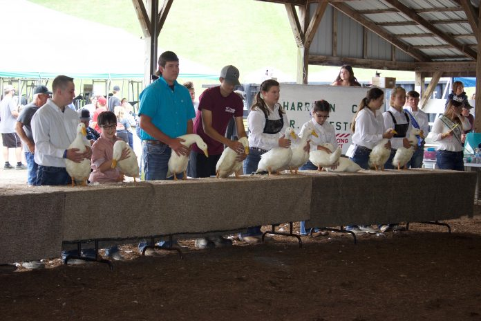 Youth show ducks at the 2020 Harrison County Fair.