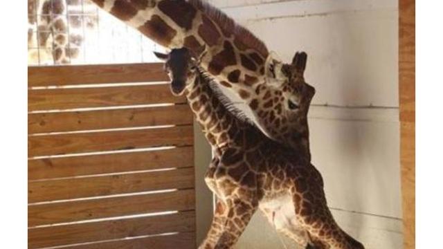 april giraffe tajiri_1523735487125.JPG_39875187_ver1.0_640_360_1523737642854.jpg.jpg