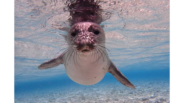 Hawaiian Monk Seal_1535321461184.jpg_53203641_ver1.0_640_360_1535331597752.jpg.jpg