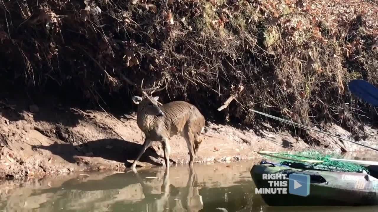 Right This Minute Moment: Kayakers Help a Swimming Deer Escape From a Pack of Dogs