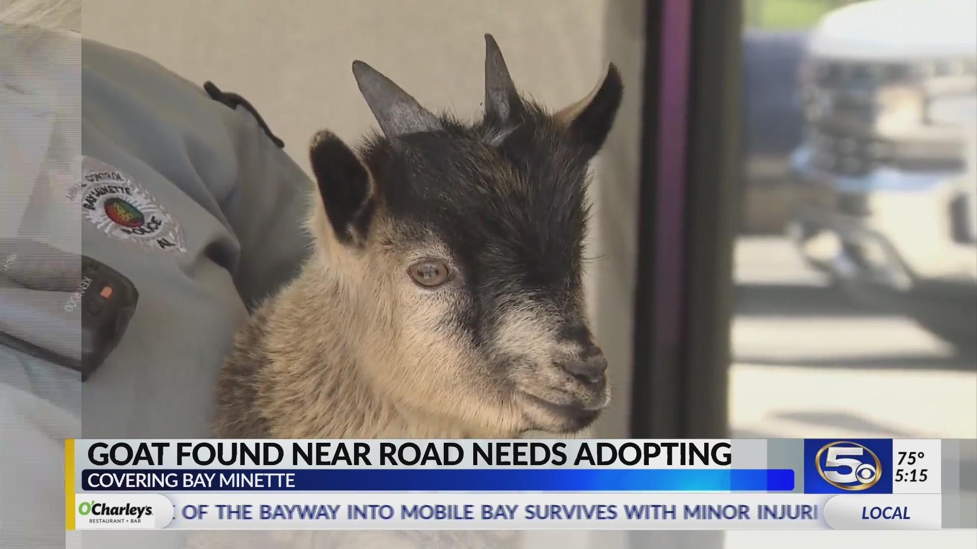 Pygmy Goat – WKRG News 5