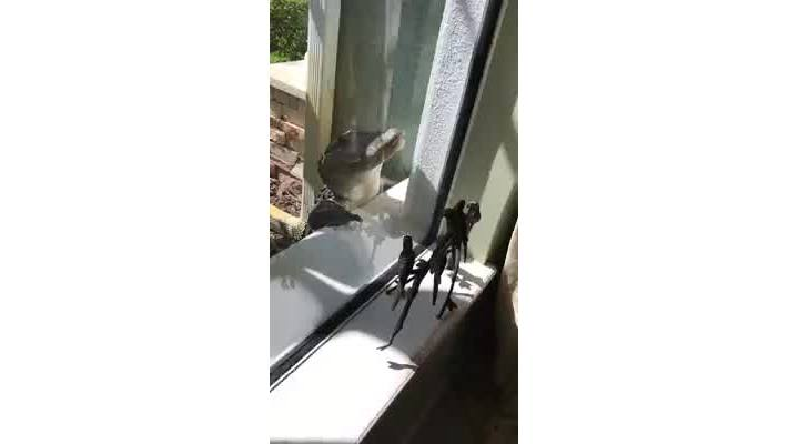 Alligator looking inside the window of Florida home