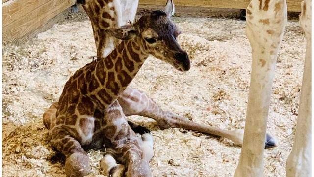 april giraffe baby_1552762805929.jpg_77736826_ver1.0_640_360_1554157052502.jpg.jpg