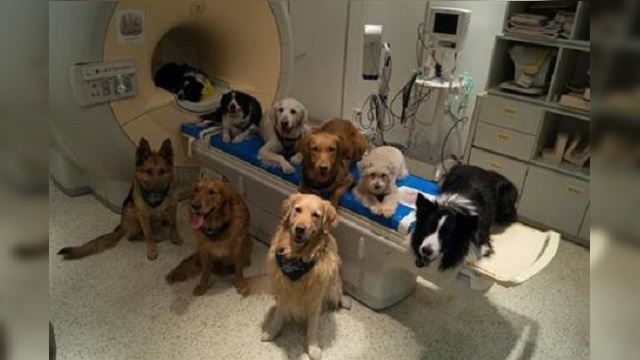 Trained dogs involved in a study to investigate how dog brains process speech sit around a scanner in Budapest, Hungary_313463