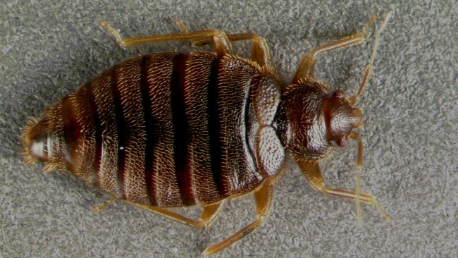tropical bed bug_334694