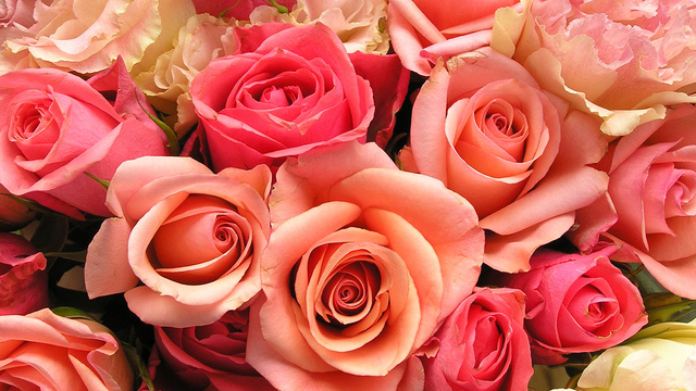 roses-flowers-valentines-day_1517879321399_340223_ver1-0_33247436_ver1-0_640_360_483600