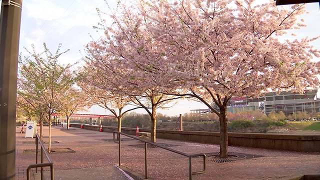 cherry tree generic