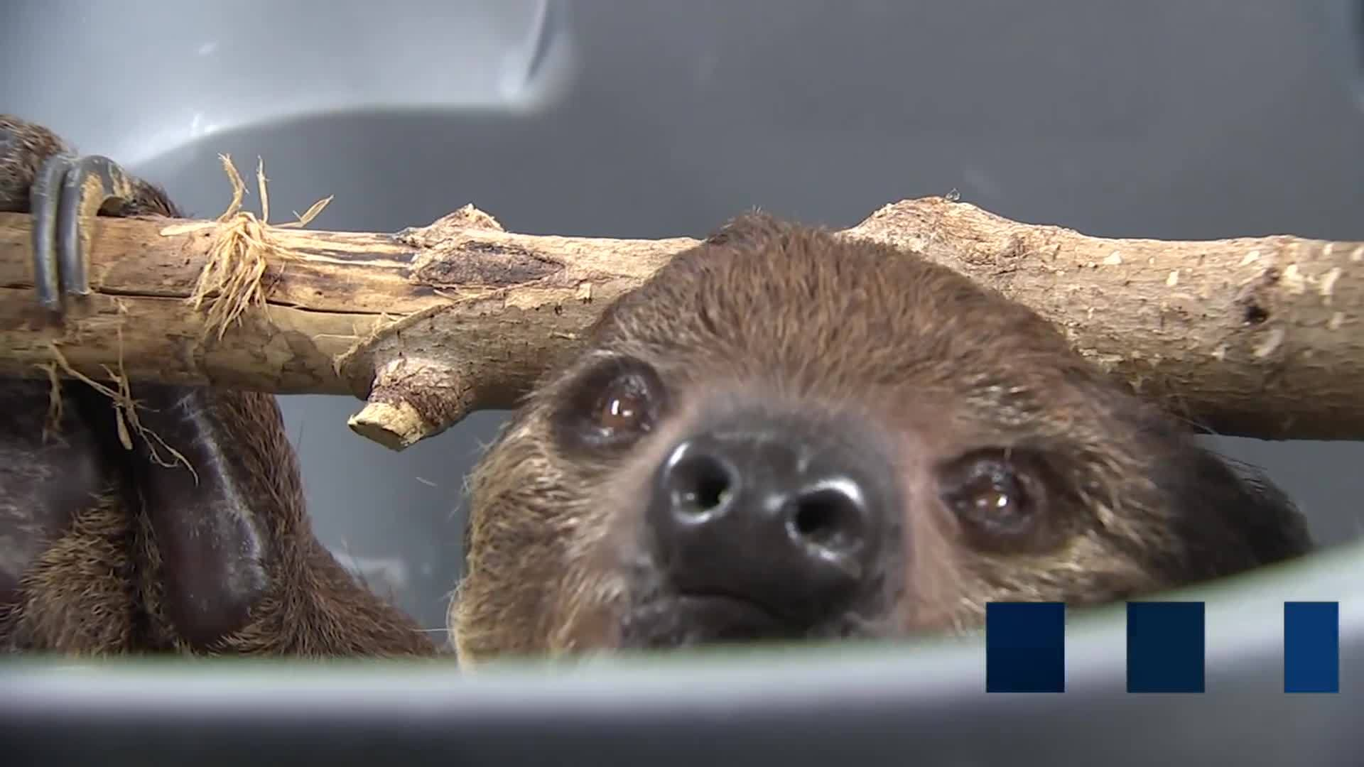 Sloth_gets_first_exam_at_Nashville_Zoo_s_7_20190308225058