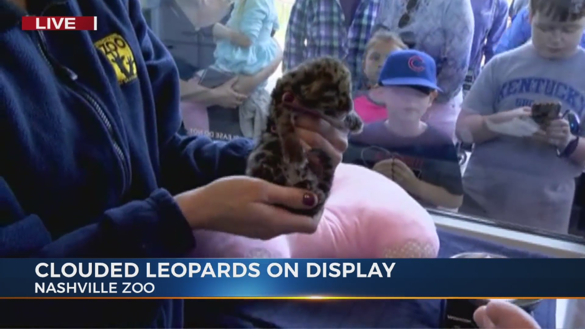 Clouded leopard cubs on display at Nashville Zoo