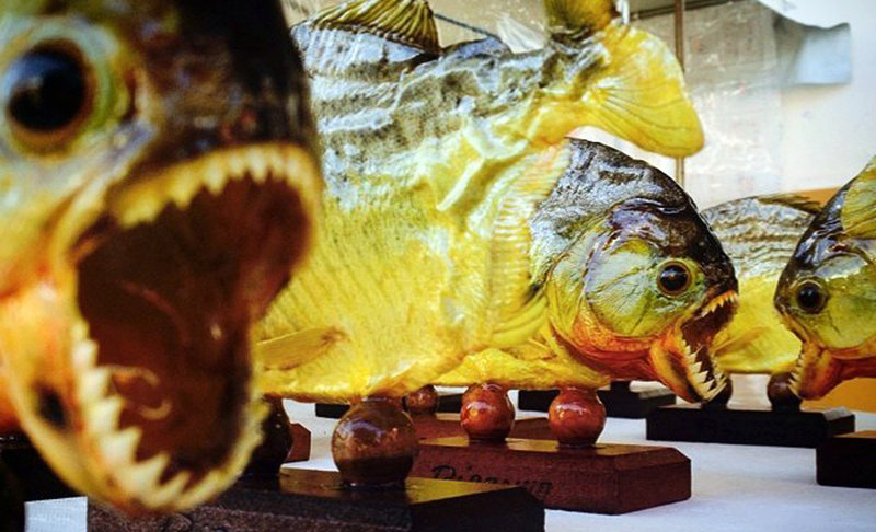 Piranhas_1557382371823.jpg