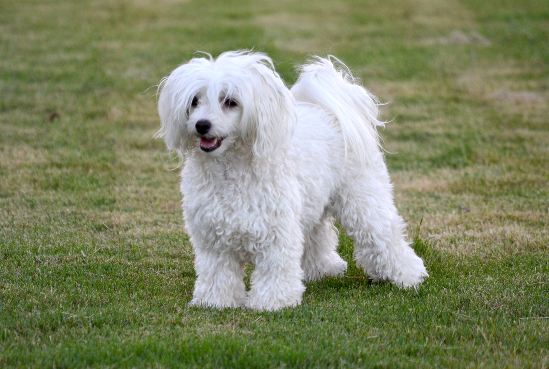 Image result for chinese crested powder puff