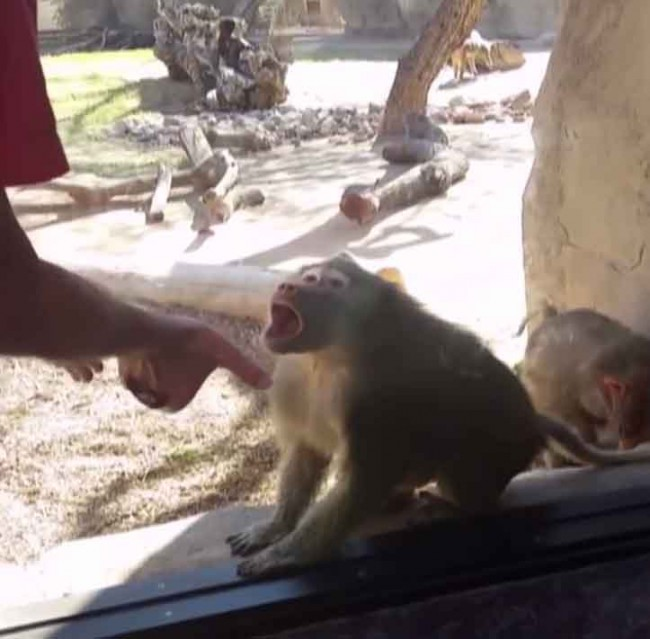 baboon_140634