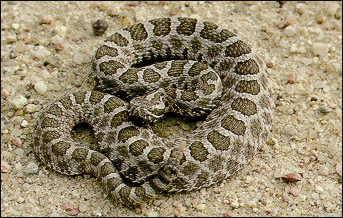 Rattlesnake_1535636895384.jpg