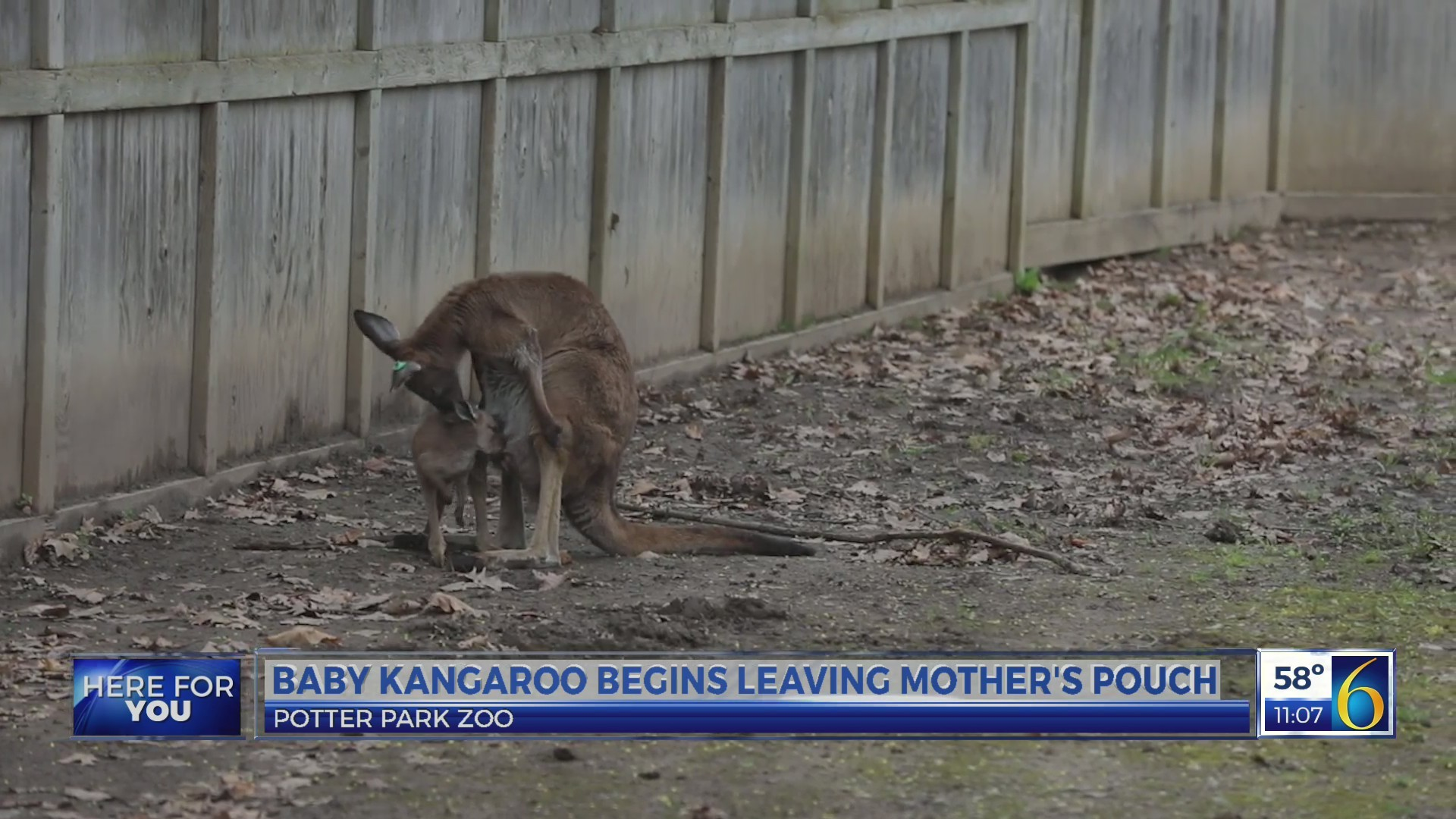 Baby kangaroo begins leaving mother's pouch