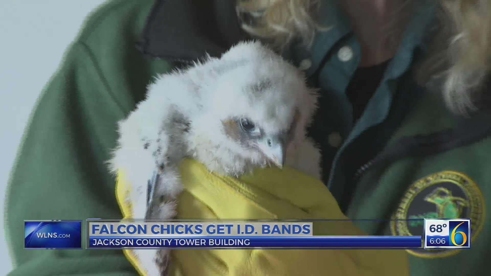 Falcon chicks get I.D. bands