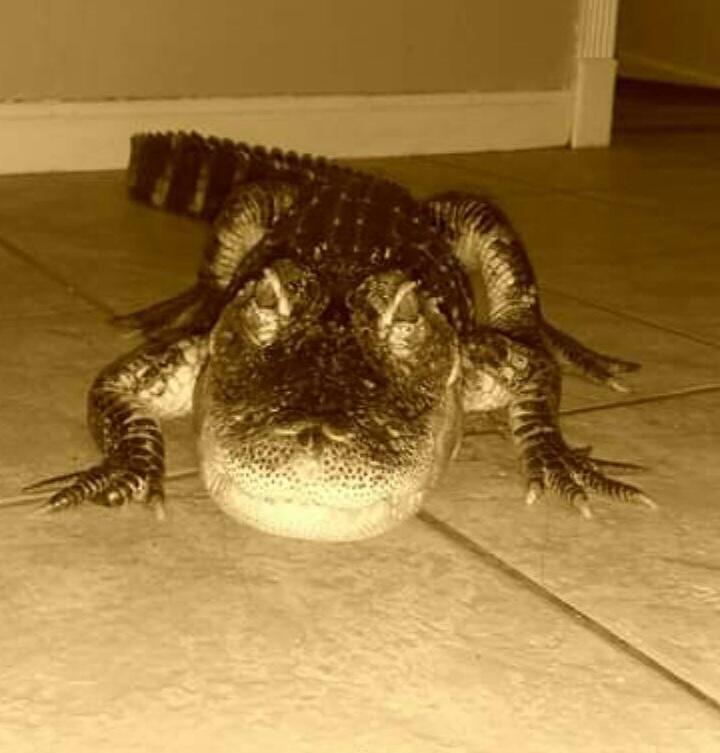 Yoshi the Alligator