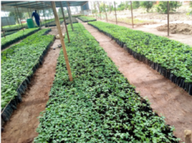 Figure 2: Tree Nursery Bed with the participation of the Community in Arua in partnership with IFMC (Integrated Farm Management Consult)