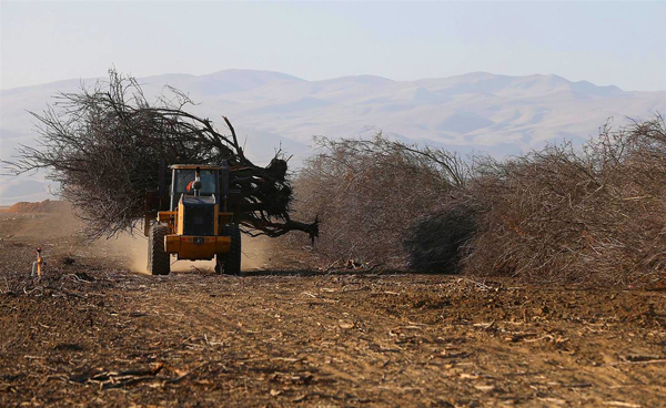 Almond farmers have been forced to uproot their trees because they don't have access to water during California's drought