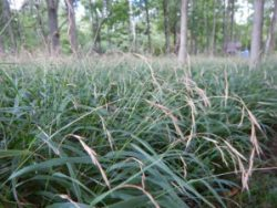 Early Detection Priority - Slender False Brome (Brachypodium sylvaticum). Photo Credit: WNY PRISM