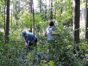 WNY PRISM works alongside volunteers to remove invasive shrubs from North Tonawanda Audubon Preserve, August 2017. Photo Credit: WNY PRISM.