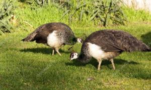 depositphotos_33162123-stock-photo-peafowl-female-peahen-flying-birds