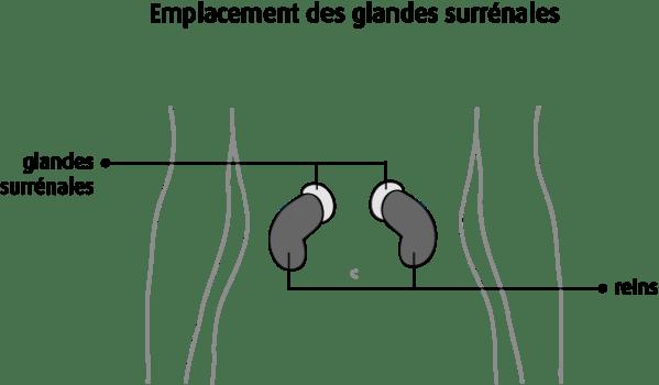 glandes surrénales