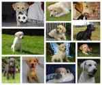Labrador retriever puppies for sale